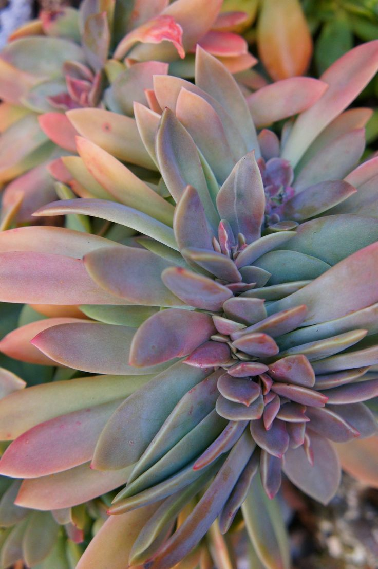 Oh, the beautiful colors of succulents.