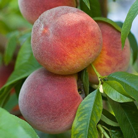 Contender Peach Tree On Fast Growing Trees Nursery