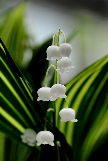 Lily of the valley .