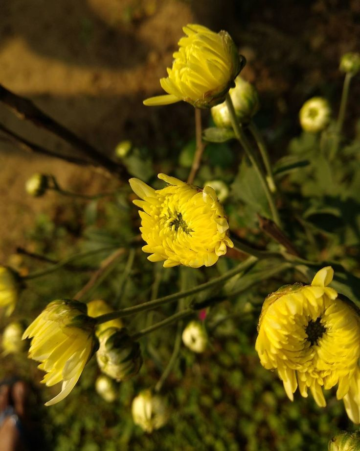 Bunch of lil yellow flowers!  I don't know the name really gonna ask mom!  #flower #unknown #photography #morningshot #instapic #indiaphotos #yellow #shotonmia1 #hobby #nice #almostsocial