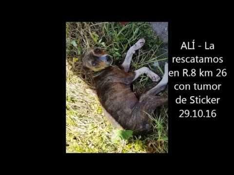 ALÍ   La rescatamos en R 8 km 26 con Tumor de Sticker y sarna el 29 10 16