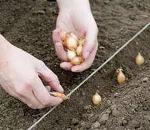 О выращивании лука китайским способом — 6 соток