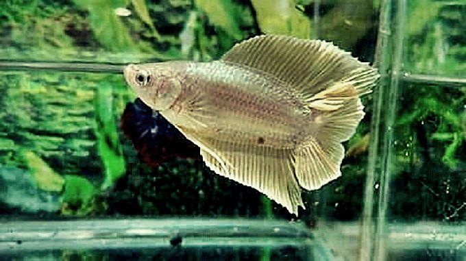 Cara Ternak Ikan Cupang Serta Gambar Wallpaper Ikan Cupang Paling Keren Untuk Ponsel Hp