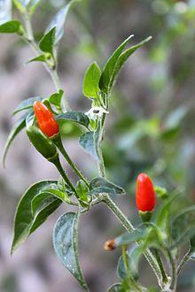 Chile pequin ovoce a květin closeup.jpg