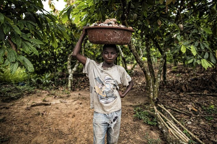 A boy in Ivory Coast carries a basket of freshly harvested cocoa seeds.