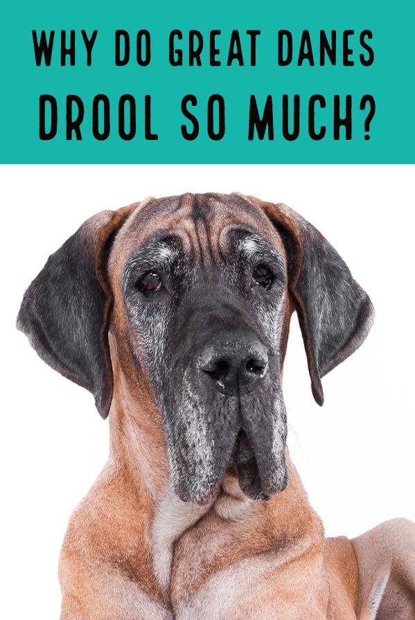 Most Dogs Drool But Why Do Great Danes Drool So Much More Compared
