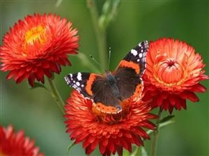 Strawflowers and Painted Lady butterfly.: Galleries, Interesting Animal, Lady Butterflies, Butterflies Wings, Birds, Australian Paintings, Paintings Lady, Admire, Animal Australian
