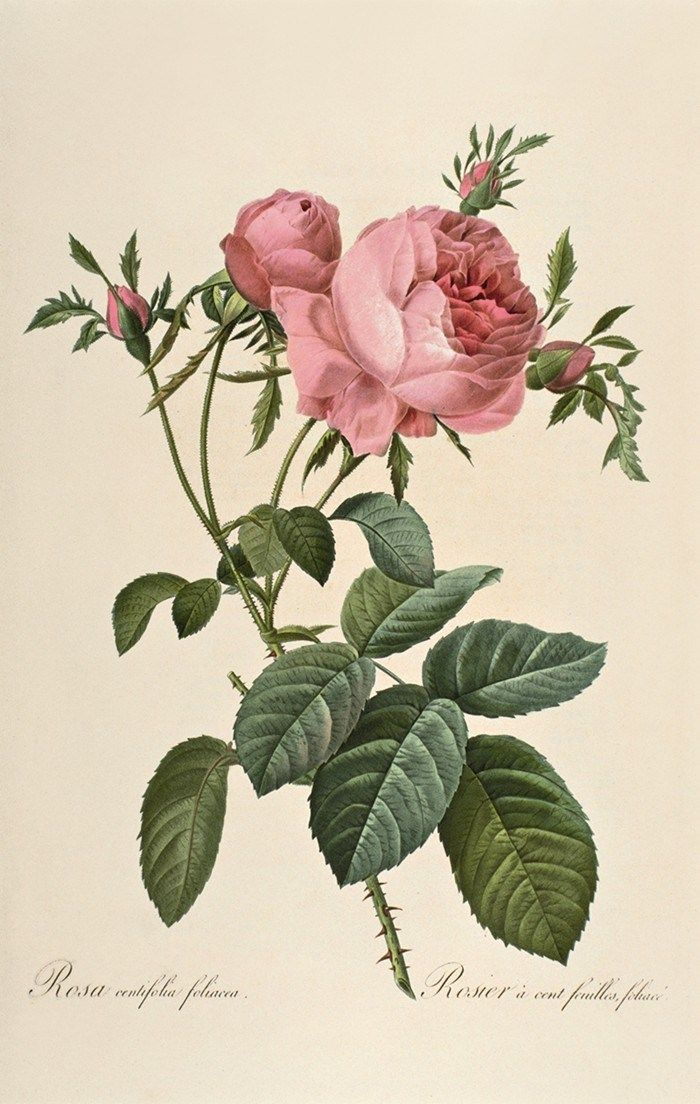 Cabbage Rose, from Marie Antoinette's Garden