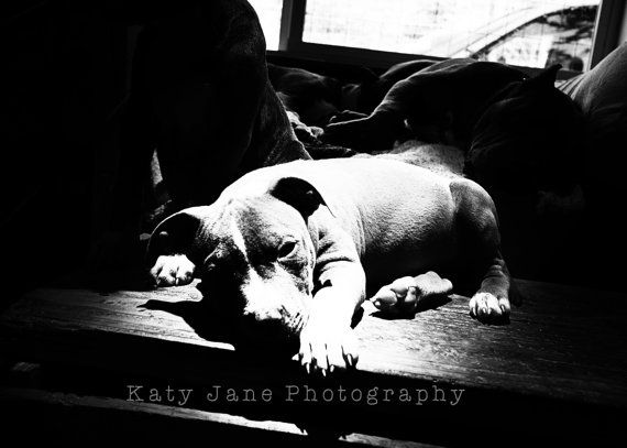 Pit Bull Photo- pit bull puppy-shelter dogs-pet photography- rustic vintage-5x7