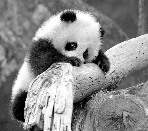 Did you know I held a baby panda?  Cutest thing I've ever seen.  Just had to brag.