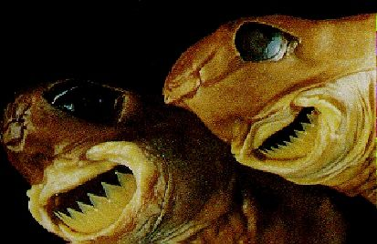 Cookiecutter Shark. Big, meat-eating sharks might go for seals and fish, kill,