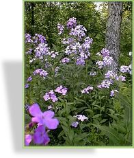 Halbschatten, Schatten,  50 - 70 cm, blüht 5 - 7, Nachtviole, Hesperis matronalis