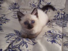 Traditional Siamese, Lynx and Balinese Kittens for Sale