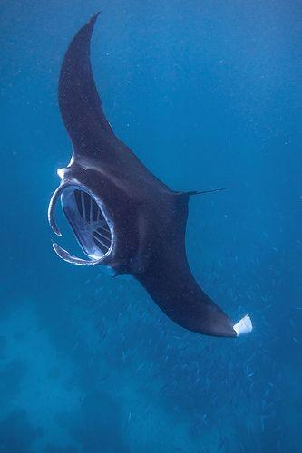 A manta ray banks over a shoal of fish www.flowcheck.es Taller de equipos de buceo #buceo #scuba #dive