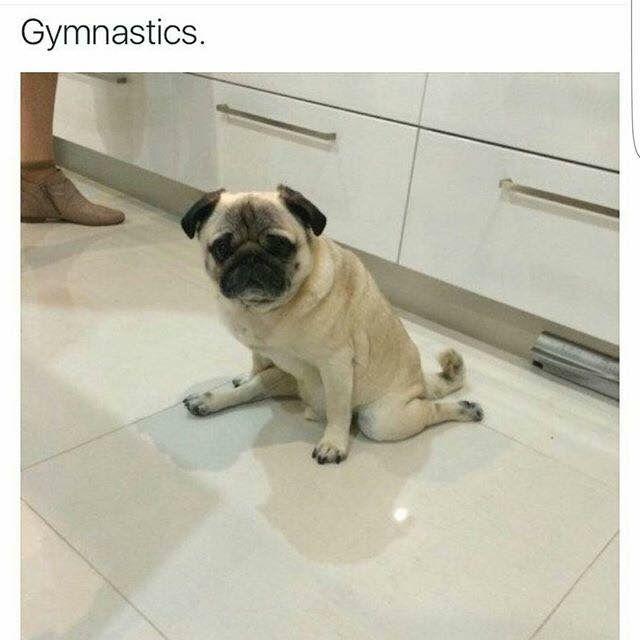 Gymnastics #pug