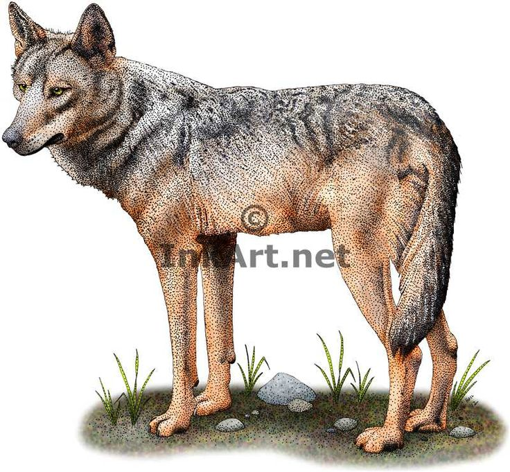 Full color illustration of an Iberian Wolf (Canis lupus signatus)