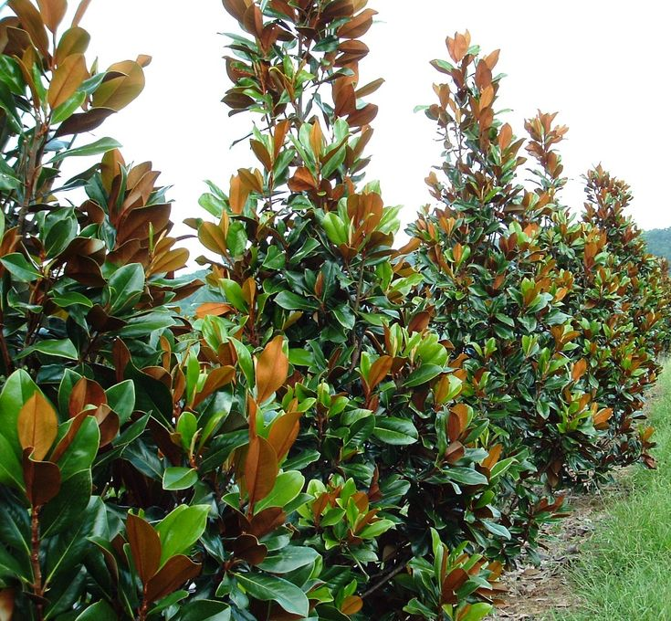 magnolia grandiflora for the front garden along the fence line for screening