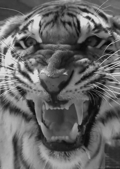gif tiger images | animals cat black and white tiger roar animated GIF