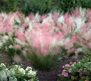 Peppermint Twist. Easy to grow and even able to withstand Southern droughts and heat, these puffs blend pink and white for a billowy, beautiful look.