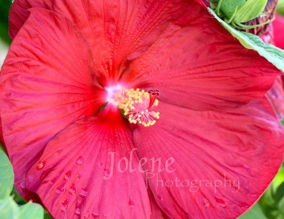 Red Hibiscus Photo Hibiscus Flower Photography Floral Wall Art Flower Home Decor Hibiscus Print Flower Greetin Flowers Photography Flowers Floral Wall Art