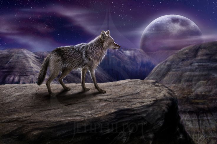 Coyote : The Lone Coyote by jocarra