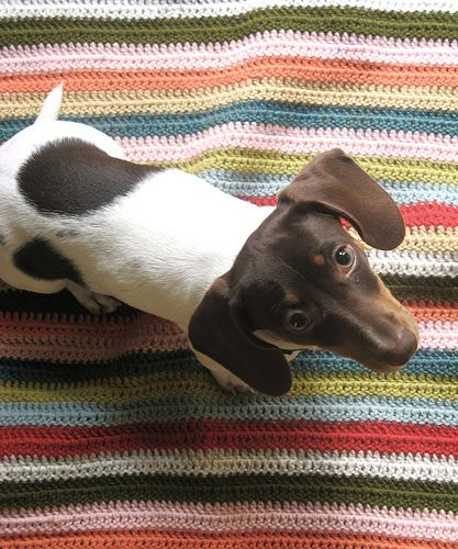 Beautiful piebald dachshund
