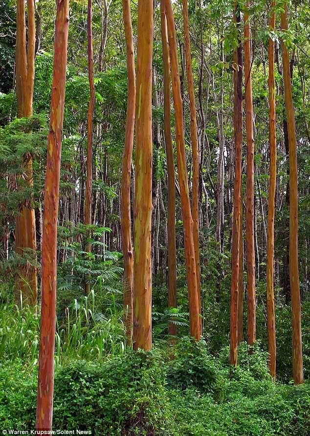Rainbow Eucalyptus Tree Eucalipto Eucalipto Arbol Color De Pelo
