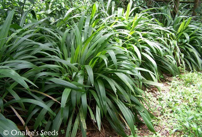 Palm grass shade tolerant tropical understory plant for Shade decorative grass