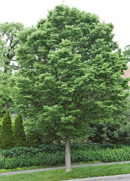 20 Tough Trees For Midwest Lawns A Well The 20s And Trees