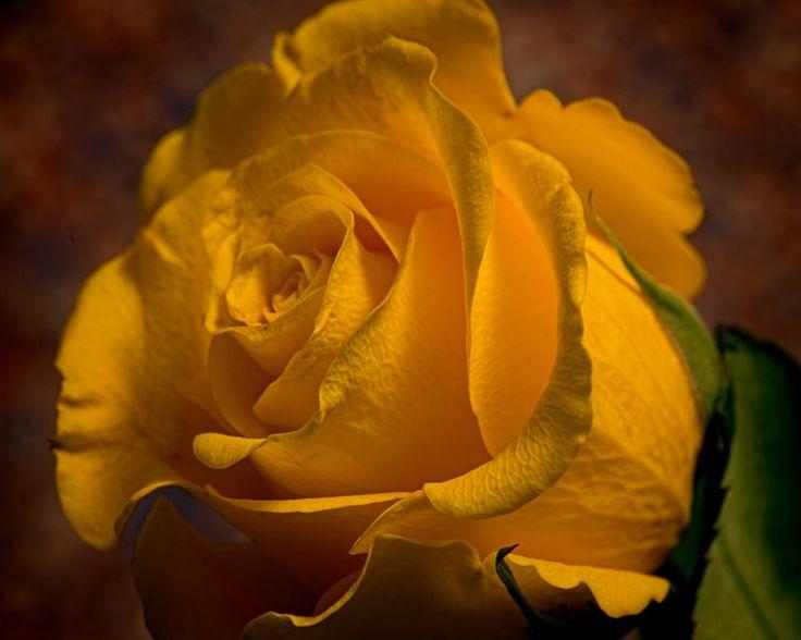 Single Yellow Rose by Thomas Jerger - Photo 202287171 / 500px