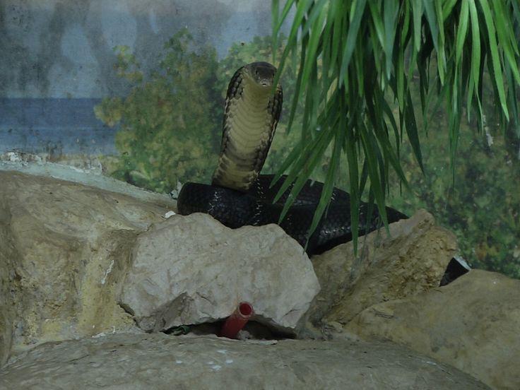 Al Rettilario di Perugia è appena arrivato un esemplare di cobra reale, il serpente velenoso più lungo al mondo diffuso in buona parte del Sud-est asiatico