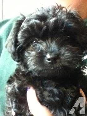 Small Female Dogs For Sale Medford Oregon