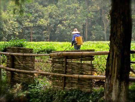 Green Tea Farmer in Hangzhou, China