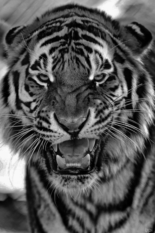 White Tiger Face Growling | www.imgkid.com - The Image Kid ...