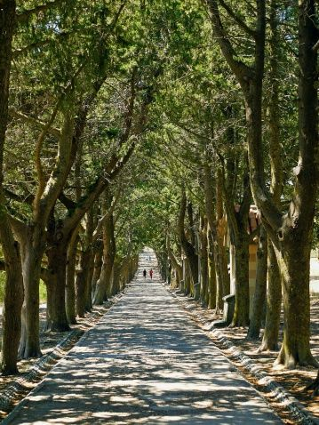 Avenue of trees, Rhodes, Greece.