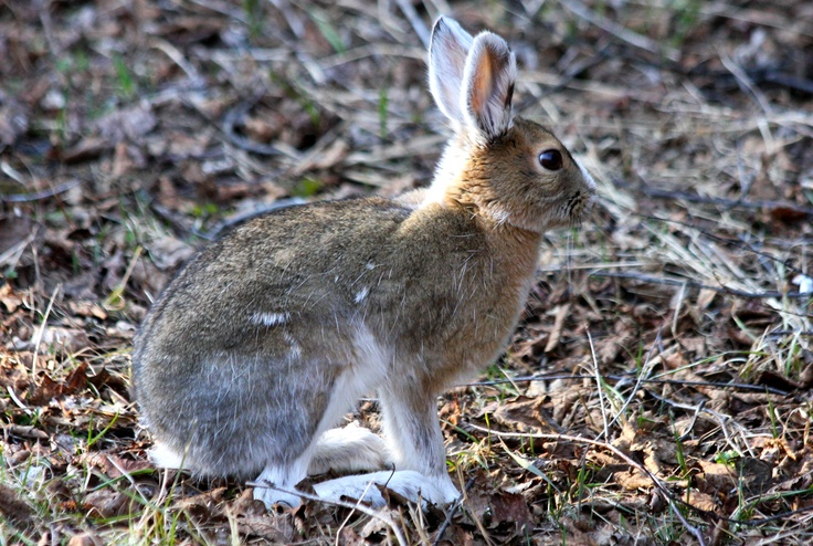 A Wild Rabbit ... hopping along the trails at Grand Portage State Park , Minnesota