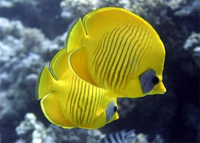 Butterfly fish is a colorful marine fish, found mostly in coral reefs. This tropical fish is a common sight in the Indian, Pacific and Atlantic oceans. Butterfly fish and the angelfish look more or less similar due to the several similarities in their physical appearance.
