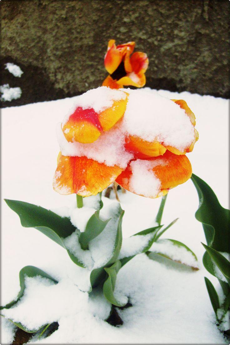 Tulipanes en la nieve