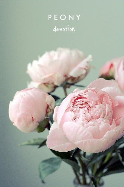 "peony means ""devotion"" 