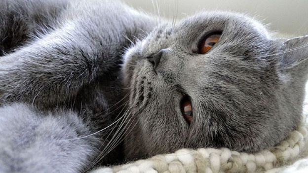 Come giocare con un gatto pigro