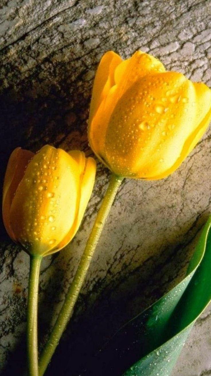 Pin de Rojas en Tulips en 2020 Flores bonitas