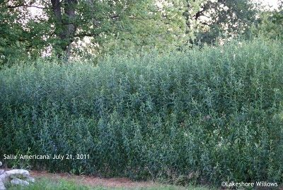 Willows: Living Willow Fence - one year later.......