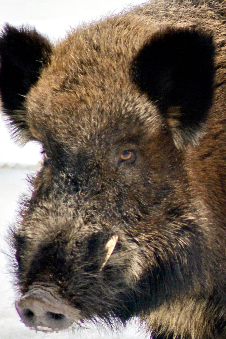 Wild boar (Sus scrofa) victorpererva.com