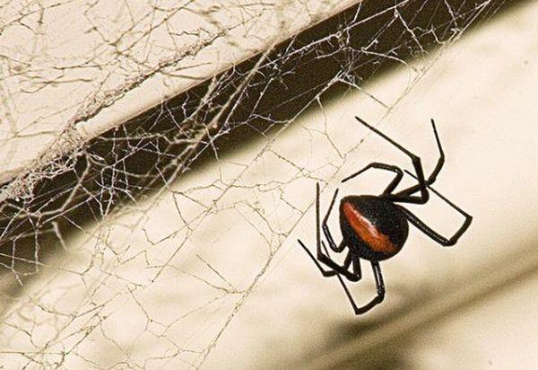 As 11 aranhas mais perigosas e venenosas do mundo - Mega Curioso