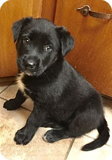 Glastonbury, CT - Labrador Retriever Mix. Meet Mandy, a puppy for adoption. http://www.adoptapet.com/pet/18276009-glastonbury-connecticut-labrador-retriever-mix