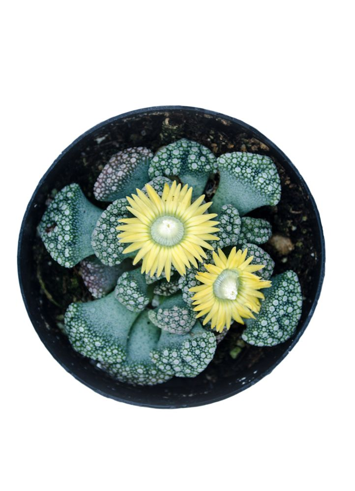 """The genus Titanopsis is part of the family Aizoaceae (synonymous with Mesembryanthemaceae), which also includes the various forms of plants known as """"Ice Plants"""" and those known as """"Mimicry Plants"""". …"""