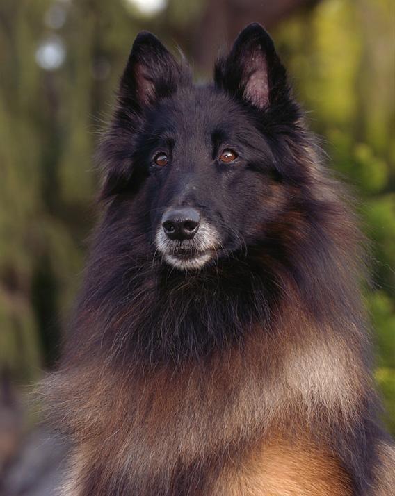 Belgian Shepherd Laekenois Rescue Dogs