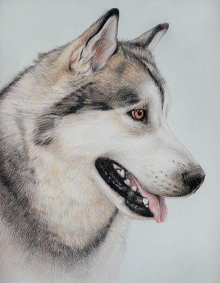Coloured pencil portrait of a Siberian Husky