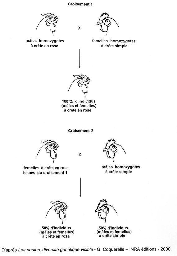 Annales bac 2010 Sciences de la Vie et de la Terre : De la génétique de la crête des poules