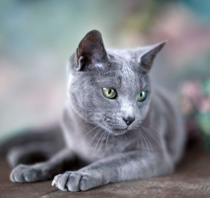 Portrait of a purebred Russian Blue Cat with flowers